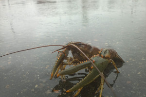 Some of the crawfish found in dorms at Colorado University