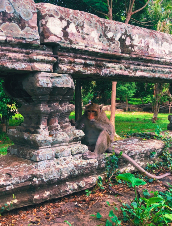 Macaque+monkey+eating+at+Angkor+Wat+temple+grounds+in+Siem+Reap%2C+Cambodia.