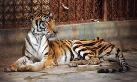 A starved Tiger captive in Xiongsen Bear and Tiger park Guilin city, China.