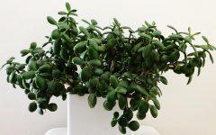Healthy jade plant