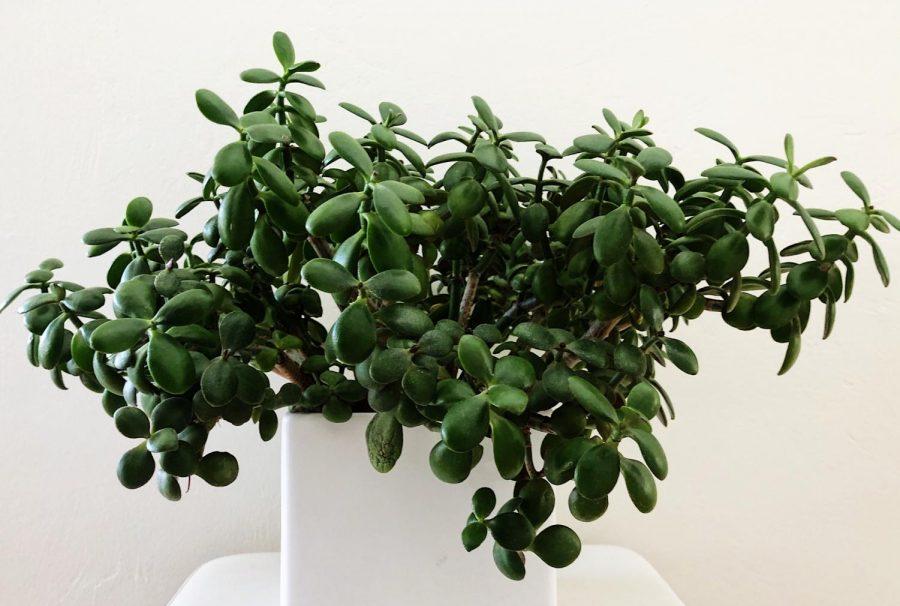 Healthy+jade+plant